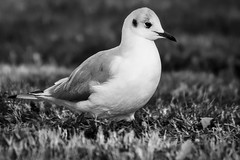 Mouette Black and White (thierrybalint) Tags: oiseau bird mouette seagull parc borely marseille park nikon nikoniste balint thierrybalint animal