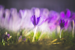 Early Spring Crocus (Dhina A) Tags: sony a7rii ilce7rm2 a7r2 a7r tamron sp 500mm f8 tamronsp500mmf8 prime ad2 adaptall2 mirrorlens 55bb catadioptric reflex cf tele macro manualfocus early spring crocus bokeh