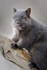 _A993443 (mbisgrove) Tags: a99m2 squirrel a99ii sony sal70400g2