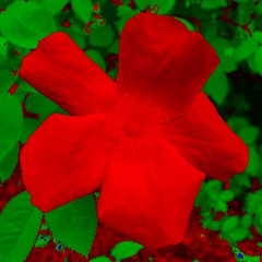 Tests of a Rose 2 (sjrankin) Tags: 12february2019 edited test output app cellphoneapp flower rose hamanasu yuni yunigarden closeup