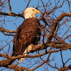 Bald Eagle profile (jmfuscophotos) Tags: americanbaldeagle baldeagle birdofprey verplanck nature bird birds newyork wildlife eagle westchestercounty raptor ny