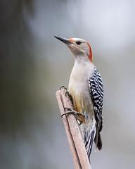 Female Red-bellied Woodpecker (Neal Lewis) Tags: redbelliedwoodpecker femaleredbelliedwoodpecker woodpecker bird lowlight