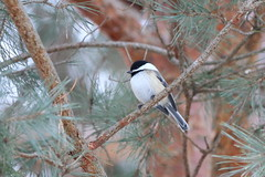 074. Chickadee (Misty Garrick) Tags: arboretum universityofminnesotalandscapearboretum landscapearboretum flowershow bird birds birding