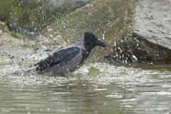 Hooded crow - Corvus cornix (Svein K. Bertheussen) Tags: kråke hoodedcrow corvuscornix gisketjern vann water plasking splashing fugl bird sandnes rogaland norway norge nature natur