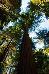 Redwoods (mgschiavon) Tags: plants nature