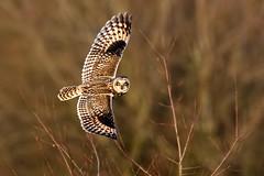 Short-eared Owl (Asio flammeus) (DerekL1) Tags: shortearedowl asioflammeus bird birdofprey wild inflight westmidlands uk ngc