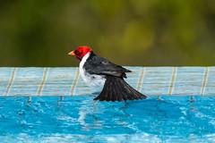 Yellow-Billed Cardinal Cooling Off (Daren Grilley) Tags: bird birds hawaii cardinal kona bath