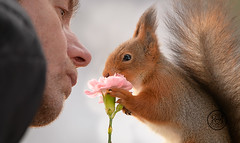 Red squirrel and a man are smelling an daisy (Geert Weggen) Tags: squirrel red animal backgrounds bright cheerful close color concepts conservation culinary cute damage day earth environment environmental equipment love valentine flower winter photo bouquet model person human man daisy smell bispgården jämtland sweden geert weggen hardeko ragunda