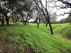 Spring Hillside with Oaks (Melinda * Young) Tags: valley green oaks trees grass coastoak liveoak contracostacounty hillside park rossmoor rainy spring