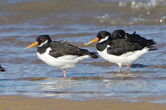 K32P7430a Oystercatchers,, Titchwell Beach, February 2019 (bobchappell55) Tags: titchwell marsh norfolk wild bird wildlife nature wader oystercatcher haematopusostralegus