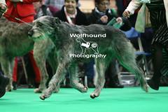 img_8922 (HoundPhotographer) Tags: irishwolfhound wolfhound hound crufts crufts2019 showdog dogshow