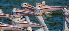 Pelican Eyes (David Hamments) Tags: pelicanfeeding eyes theentrance nsw fantasticnature flickrunitedaward