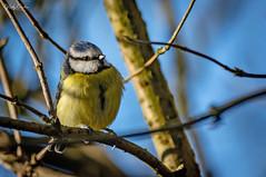 🇬🇧 Blue tit (vickyouten) Tags: bluetit nature naturephotography wildlife britishwildlife wildlifephotography nikon nikond7200 nikonphotography sigma sigma150600mmc penningtonflash leigh uk vickyouten