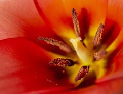 Tulip (sdmvqedd30) Tags: tulip red orange flower spring stamen pistils macro canon garden