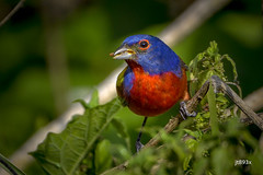Painted Bunting (jt893x) Tags: 150600mm bird bunting d500 jt893x male nikon nikond500 paintedbunting passerinaciris sigma sigma150600mmf563dgoshsms thesunshinegroup coth