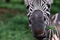 South Africa 8/35 (franziska.bro) Tags: animal natur nature africa swaziland zebra wildlife