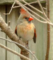 Northern Cardinal - female (mahar15) Tags: wildlife birds outdoors cardinal nature femalecardinal femalenortherncardinal northerncardinal