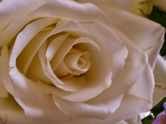 A White Rose (Keith Coldron) Tags: bloom flower white rose furled petals macro