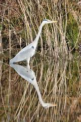 Heron (sumowesley) Tags: bird fauna heron nature oldmoor