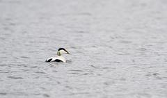 Swimming (JarkkoS) Tags: 70200mmf28efledvr animal bird d500 finland suomenlahti tc17eii uusimaa fi