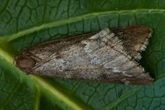 1663-_W4A8672 March Moth (Alsophila aescularia) (ajmatthehiddenhouse) Tags: kent stmargaretsatcliffe garden uk 2018 geometridae oenochrominae moth marchmoth alsophilaaescularia