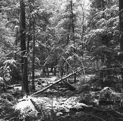 (babireley) Tags: minoltaautocord kodakpanatomicx expiredfilm 1982 thedarkroomlab pawilds pottercounty pa pottercountypa snow winter pennsylvania usa