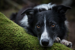 The Green Carpet (JJFET) Tags: 51 52 weeks for dogs paddy border collie dog sheepdog