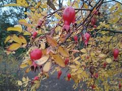 Rosa moyesi fruits (Elmar Eye) Tags: autumn rosa moyesii gothenburg trädgårdsföreningen