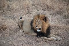 Male Lion (mplatt86) Tags: lion wildlife africa african safari savannah holiday honeymoon animals animal travel bush grass
