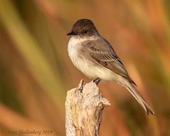 Eastern Phoebe (Matt Shellenberg) Tags: reeds eastern phoebe easternphoebe flycatcher lake apopka florida matt shellenberg