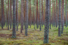 Lines of Chaos (Bill Ferngren) Tags: bill bole ferngren forest green landscape lines myname nynäshamn pine pinetree sorunda sweden theforest thewoods treetrunks trees tribe tribes wood straight tree