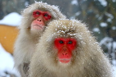 "地獄谷野猿公苑 ""Jigokudani Yaen Kōen"" Japanese Snow Monkey (Manuel Negrerie) Tags: 地獄谷野猿公苑 jigokudaniyaenkōen japanese snow monkey canon nagano japan photography wildlife snowmonkey portrait sight winter"