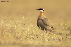# Indian Courser........... (Dr Prem K Dev) Tags: indian inland india courser chestnut composition colourful rich bird beautiful brilliant black brown bokeh bg pose pleasing nature grass glint green gorgeous lake lovely white tall tack sharp details feathers texture soft woodland wild wonderful endangered extinction tropical outskirts mamandur kancheepuram