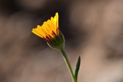 Recogiendo los rayos de sol. (EFD-fotolab) Tags: nikond610 nikon macrofotografia macro españa invierno flowers flores floressilvestres