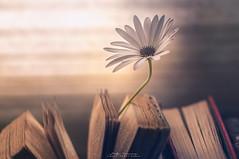 """""""Entre lecturas"""" (mariajoseuriospastor) Tags: flowers margaritas libros bodegon stilllife"""