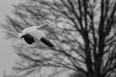 Leaving the Corn Field (dngovoni) Tags: action background bird bombayhook delaware flight snowgeese wildlife