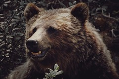 Grizzly Bear (Somewhere in the Mountains) Tags: bear grizzly mountains nature wildlife
