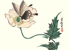 Opium poppy (Japanese Flower and Bird Art) Tags: flower opium poppy papaver somniferum papaveraceae ukiyo woodblock picture book japan japanese art readercollection