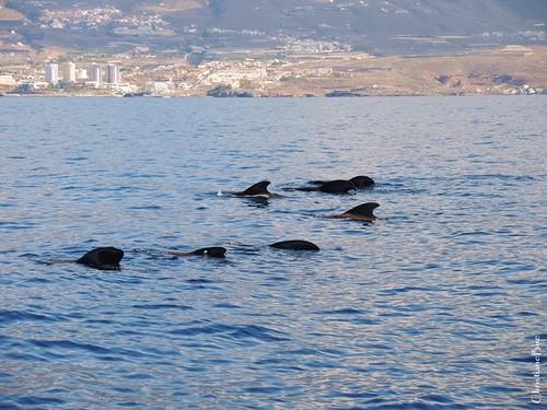 Wale vor Teneriffa II