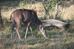 Großer Kudu / Greater Kudu (brainstorm1984) Tags: antelope antilope botswana campmoremi desertdeltasafaris elangeniafricanadventures gamedrive greaterkudu groserkudu kudu moremigamereserve moremiwildreservat okavangodelta safari strepsiceros tragelaphusstrepsiceros wildlife