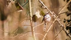 Mésange à longue queue (GraphX Photographie) Tags: birch tree apple autumn season plant part branch twig rowanberry manitoulin island stump spring copse