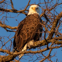 Bald Eagle checking me out (jmfuscophotos) Tags: americanbaldeagle baldeagle birdofprey verplanck nature bird birds newyork wildlife eagle westchestercounty raptor ny