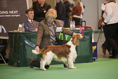 Diary_2016_035 (evinrisca) Tags: crufts welsh springer spaniel dogshow wsscsw