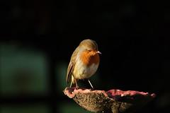 Garden Robin (hedgehoggarden1) Tags: robin birds wildlife rspb nature sonycybershot creature animal bird gardenbirds gardenwildlife norfolk eastanglia uk sony