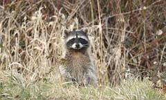 038:365-February 7-Rocky Raccoon (karendunne337) Tags: