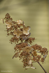 Winter Beauty (Victoria C Martin) Tags: flower winter decay dead plant yellow