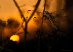 An here we are again, you and me, dreaming of a better world (Beatriz-c) Tags: dragonfly libelula macro sunset atardecer golden hour hora dorada macrophotography nature naturaleza sun sol grass hierba