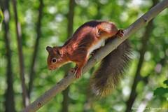 Écureuil roux (Sciurus vulgaris) (82) (Didier Schürch) Tags: nature foret bois animal mammifère écureuil sciurus