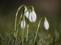 snowdrop (uwe.kast) Tags: schneeglöckchen snowdrops panasonic lumix g9