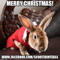 merry christmas (tammybeck) Tags: scooter rescuedrabbits rex lapin krolik kaninchen conejo coniglio specialneedspets